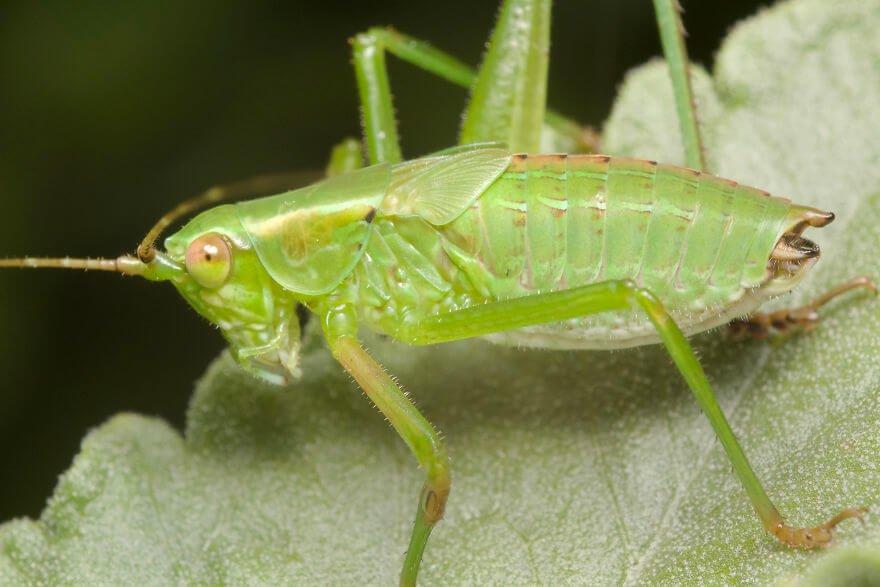 Личинка зеленого кузнечика 2, фотографий насекомых и пауков