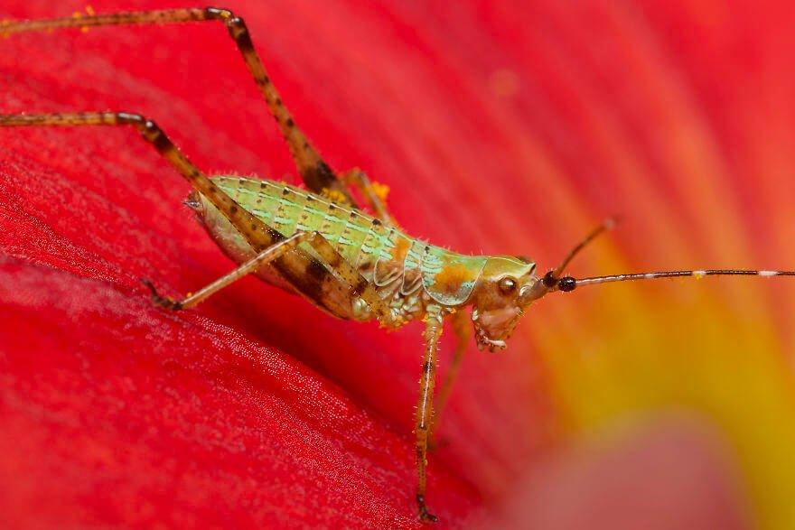 Личинка зеленого кузнечика, фотографий насекомых и пауков