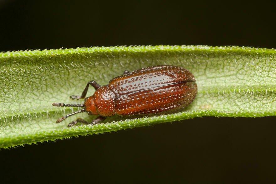Листовой жук, фотографий насекомых и пауков