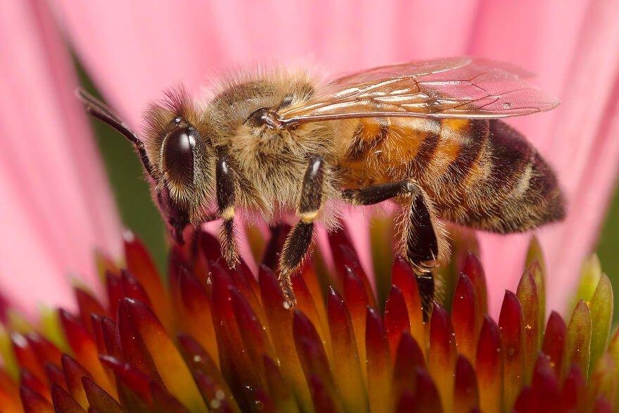 Медовая пчела, фотографий насекомых и пауков