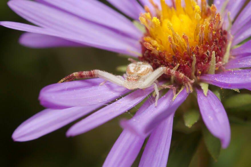 Паук-бокоход, фотографий насекомых и пауков