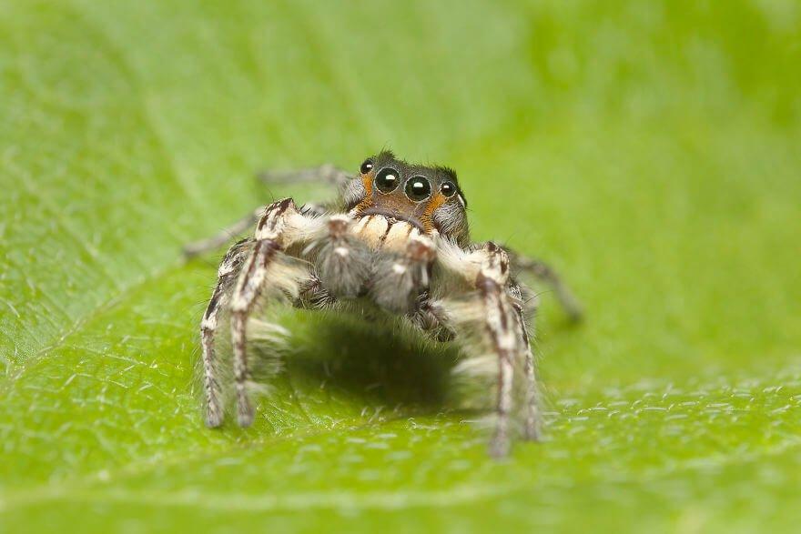 Паук-попрыгунчик (самец ), фотографий насекомых и пауков