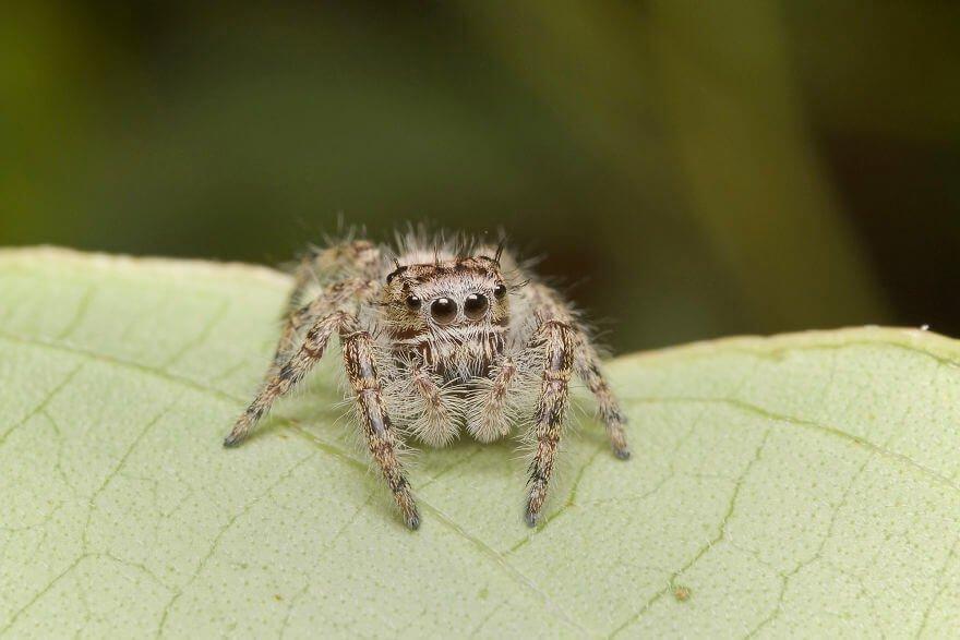 Паук-попрыгунчик, самка, фотографий насекомых и пауков