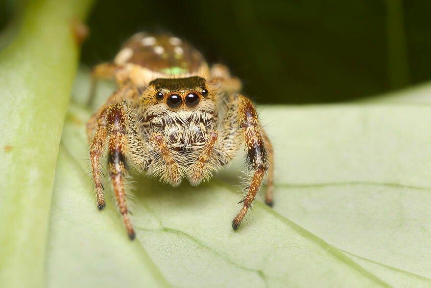 Паук-попрыгунчик (самка), фотографий насекомых и пауков