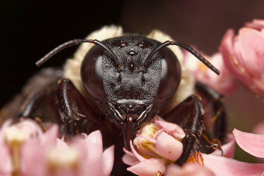 Пчела-плотник, фотографий насекомых и пауков