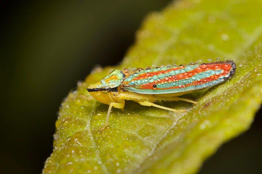Полосатая цикада, фотографий насекомых и пауков
