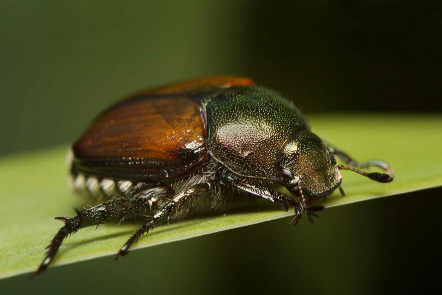 Японский жук, фотографий насекомых и пауков