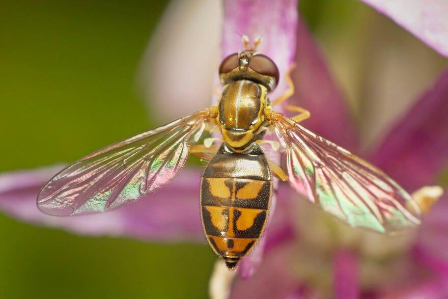 Журчалка, фотографий насекомых и пауков