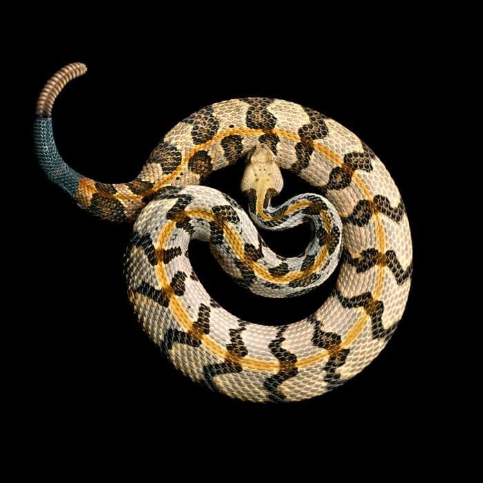 Фотографии ядовитых змей, фото 13