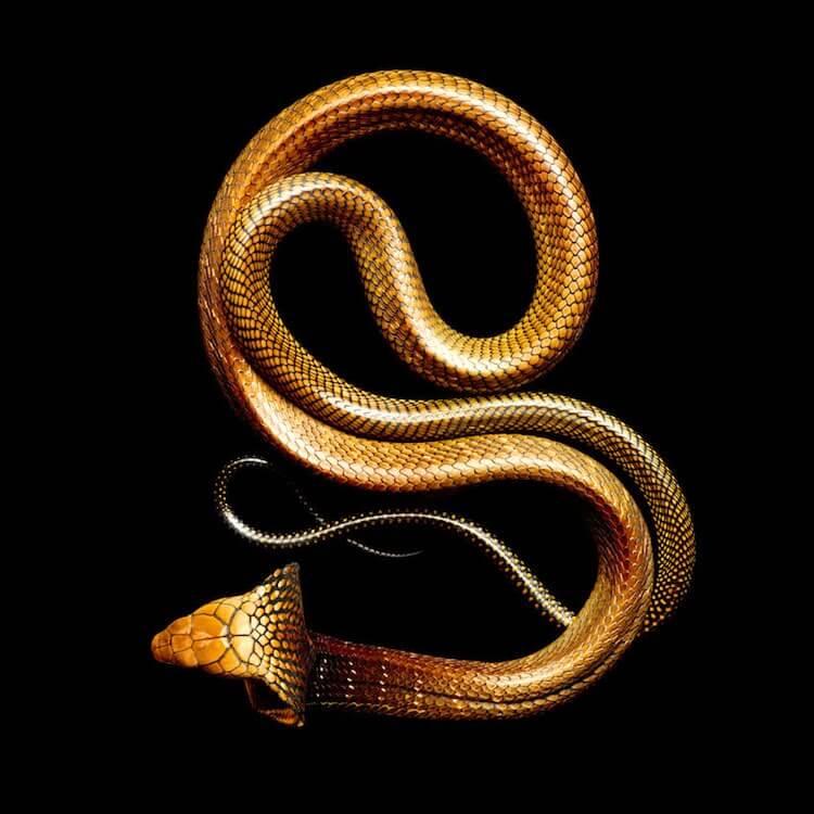 Фотографии ядовитых змей, фото 5