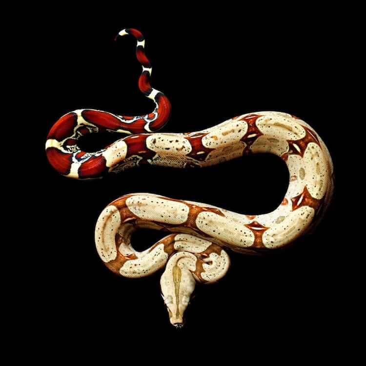 Фотографии ядовитых змей, фото 7