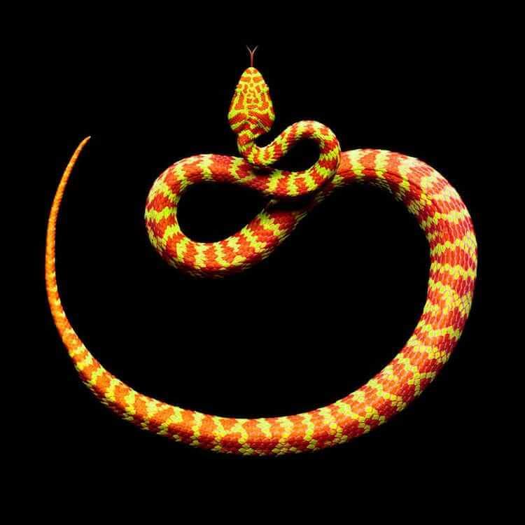 Фотографии ядовитых змей, фото 2