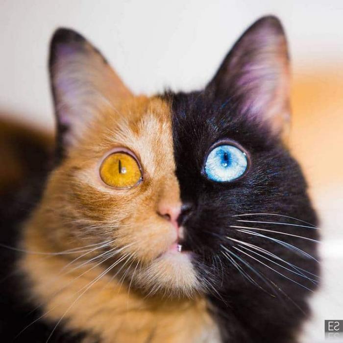 Знакомьтесь, «двуликая» кошка Кимера