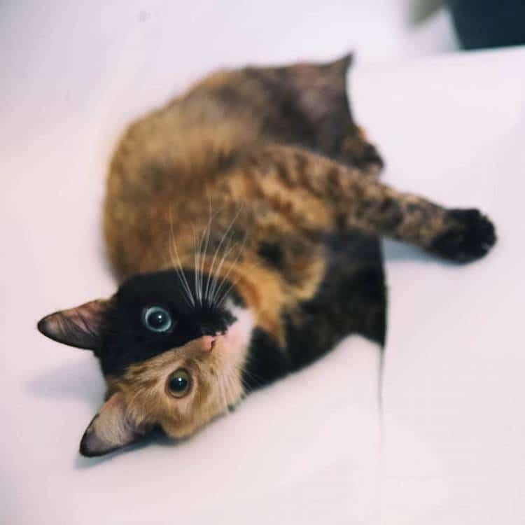 Кошка химера, фото 2