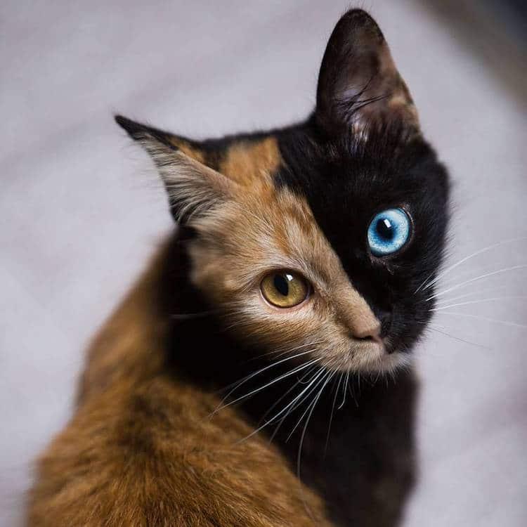 Кошка химера, фото 4