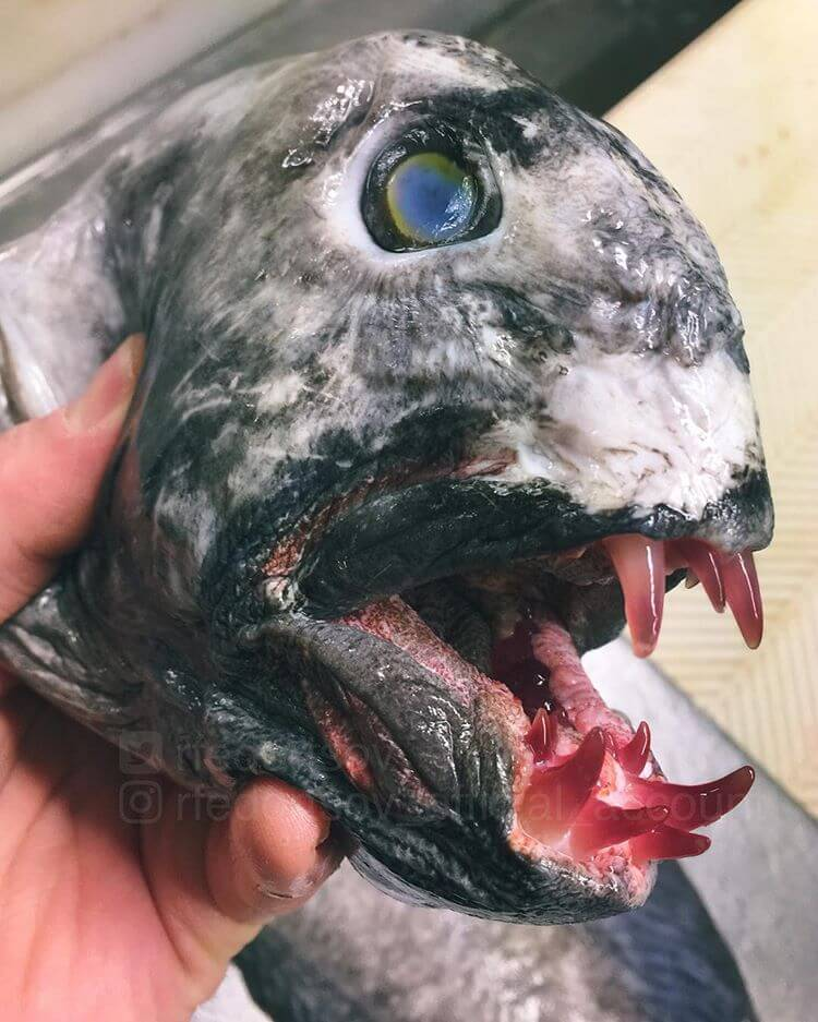 Глубоководные рыбы, фото 3