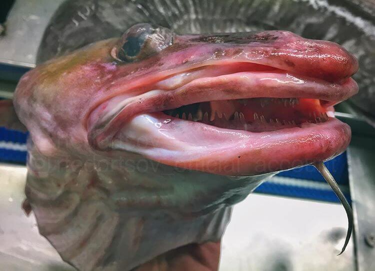 Глубоководные рыбы, фото 7