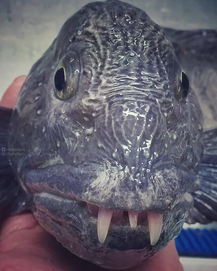 Глубоководные рыбы, фото 9