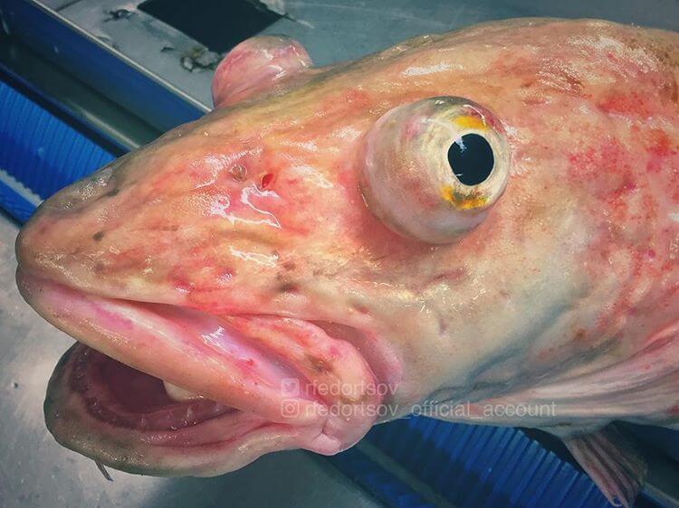 Глубоководные рыбы, фото 11