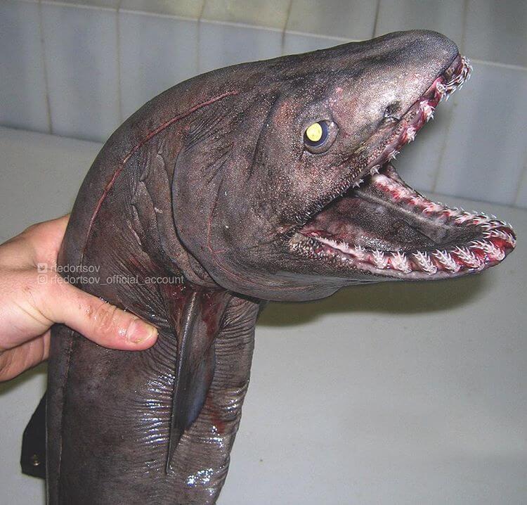 Глубоководные рыбы, фото 14