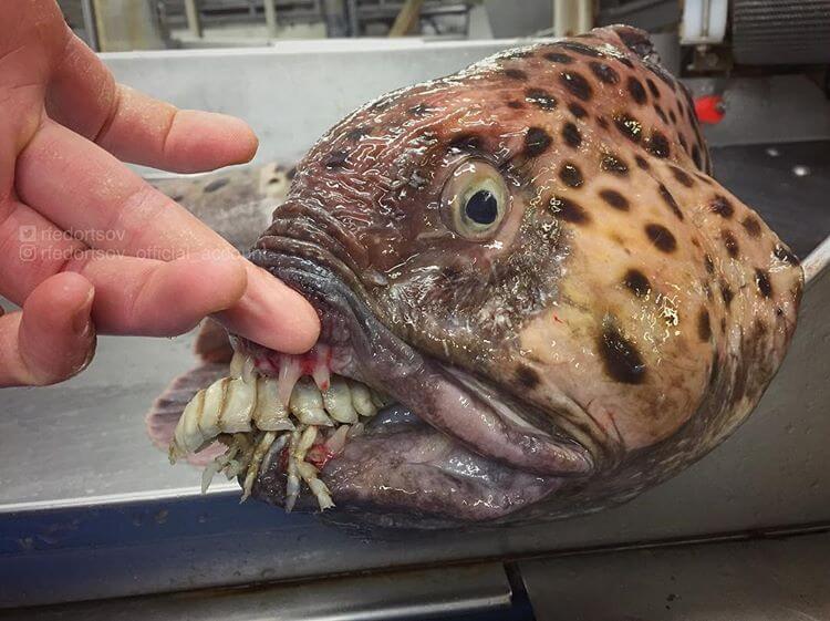 Глубоководные рыбы, фото 17